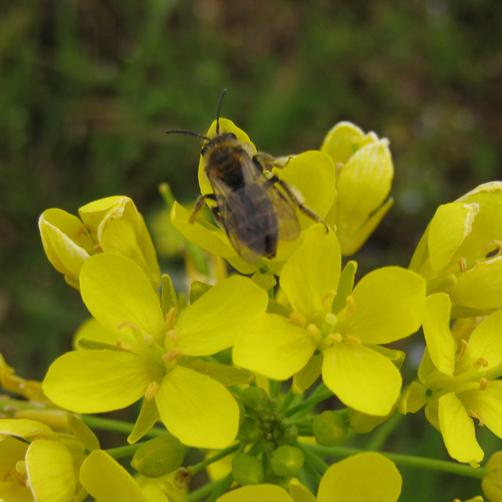 菜の花とハチ(P24)