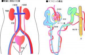 腎臓ー人体の情報ネットワーク基地