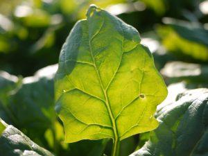 肥料過多は健康に悪影響 ー硝酸態窒素の害と現状の衝撃的な数値ー 健康のためには自然栽培野菜を