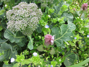 野草の花々に囲まれるブロッコリー