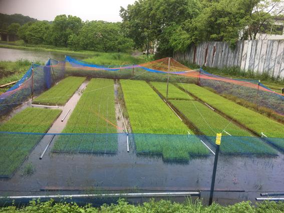 民間稲作研究所の苗床