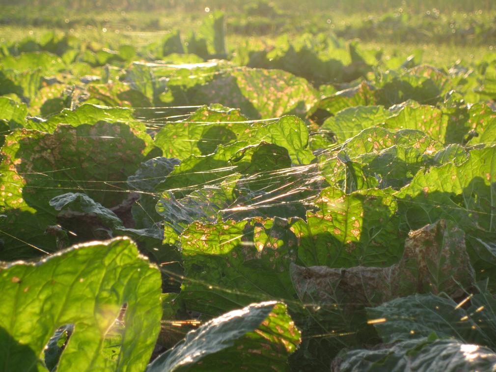 キャベツ畑の蜘蛛の糸